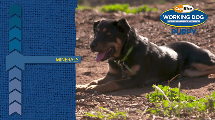 CopRice Working Dog Guide to Puppy Dog Nutrition